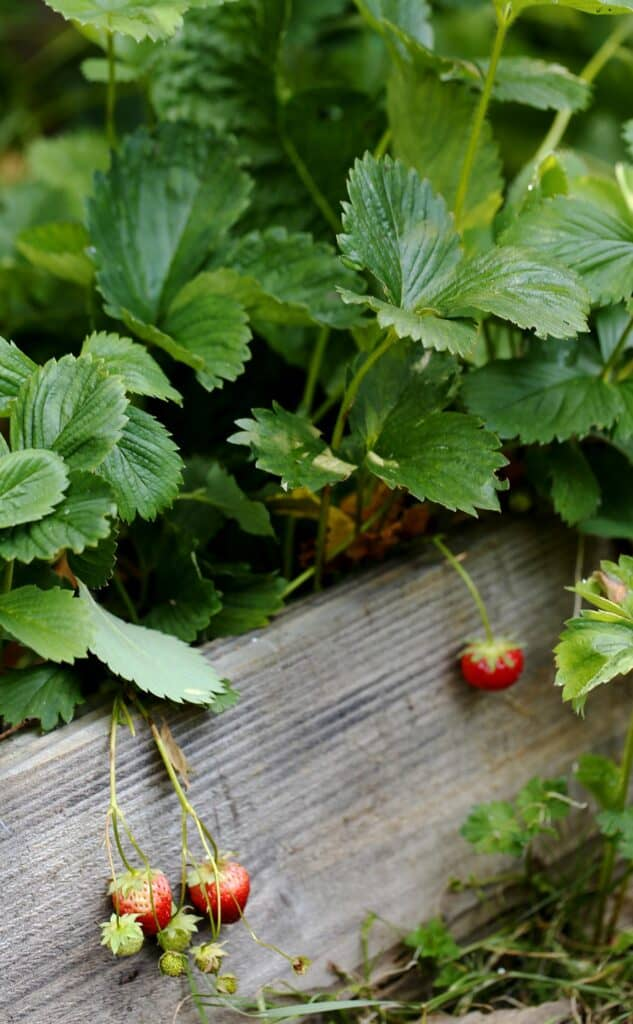 Wild strawberries in planter boxes